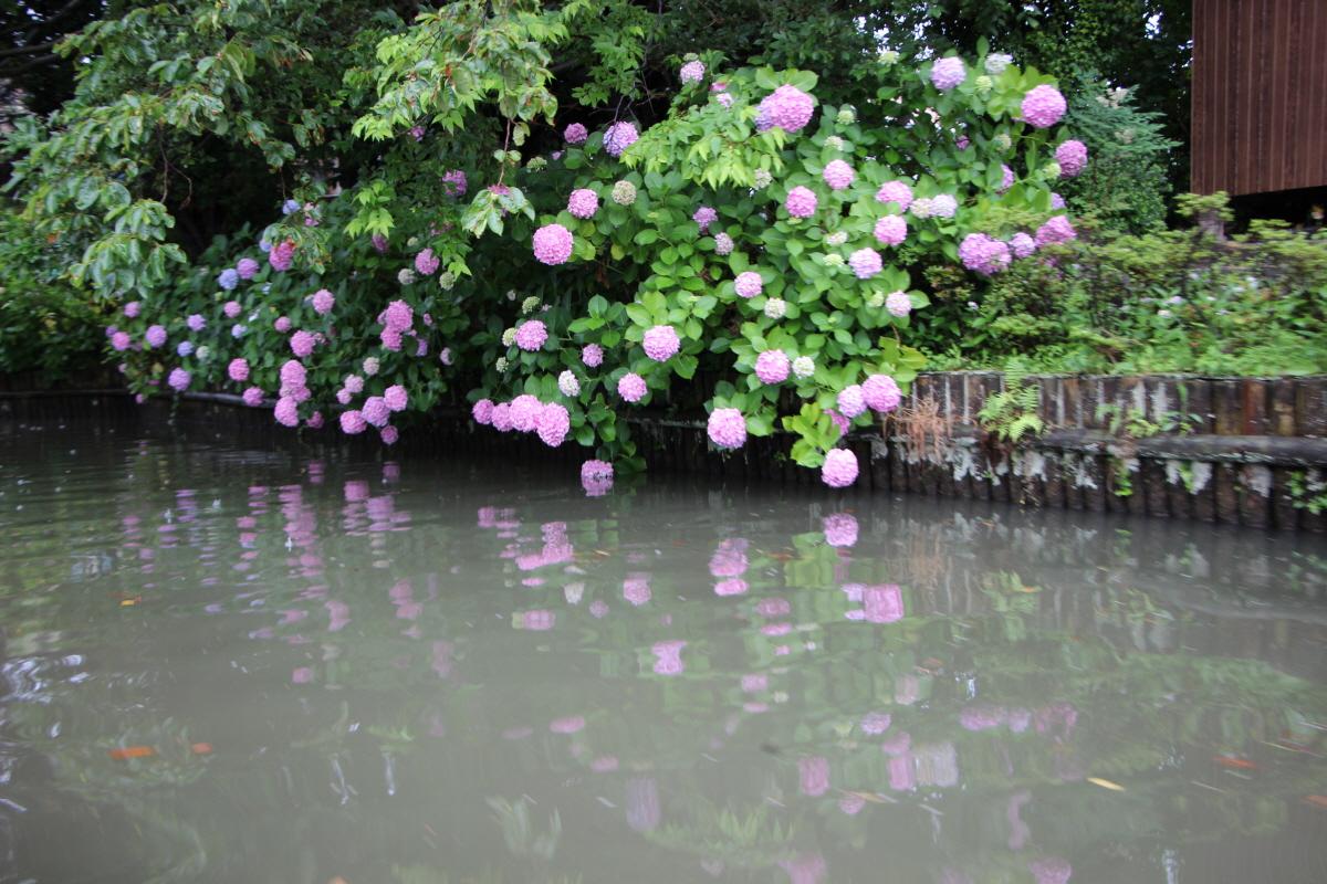 호리카와의 수국꽃
