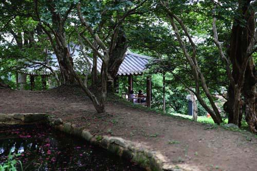 배롱나무 숲그늘에 자리하고 있는 명옥헌의 뒷모습. 진분홍 배롱나무 꽃이 피고 있다.