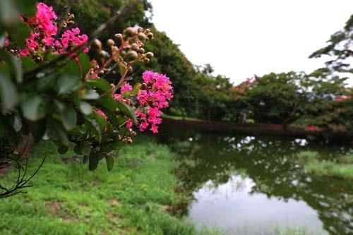 명옥헌원림에 핀 배롱나무 꽃. 누정과 연못을 배경으로 진분홍 빛깔의 배롱나무 꽃이 피고 있다. 지난 27일 모습이다.