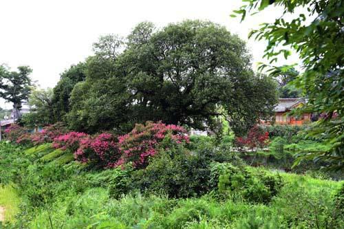 명옥헌원림이 자리하고 있는 후산마을 풍경. 노거수와 배롱나무가 어우러져 있다.