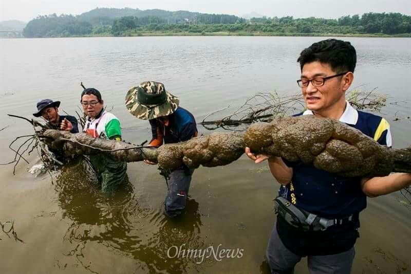 초대형 큰빗이끼벌레, 합친 몸체의 크기가 무려 3m50cm, 공주보 상류 1킬로미터 지점에서 발견.