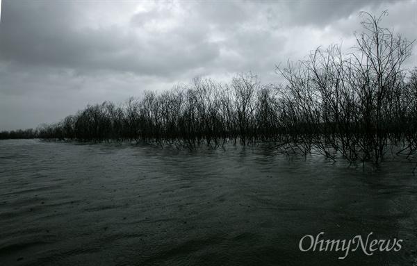 강정고령보 담수 이후 물이 차올라 버드나무들이 집단으로 수장되었다.