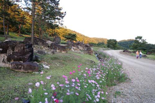 코스모스와 어우러진 화순 고인돌공원. 옛 추억을 떠올려주는 코스모스 활짝 핀 길을 걸으며 선사시대로 여행할 수 있는 곳이다.