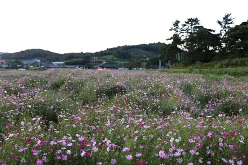 화순 고인돌공원에 활짝 핀 코스모스. 관광안내소 주변 2만여 평에서 코스모스로 꽃물결을 이루고 있다.