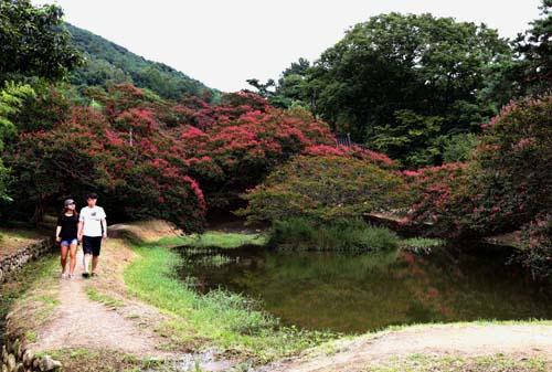 진분홍색의 배롱나무 꽃과 어우러진 명옥헌원림 풍경. 한 연인이 연못가를 따라 거닐며 풍광을 감상하고 있다.