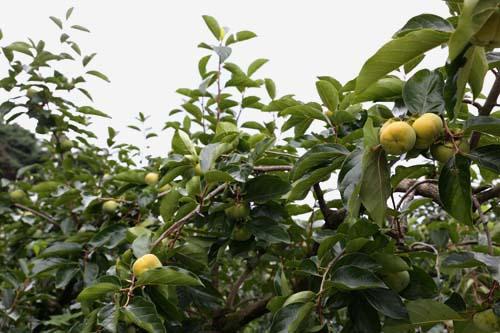 후산마을에 지천인 감나무. 초가을 햇살에 감이 살을 찌우며 익어가고 있다.