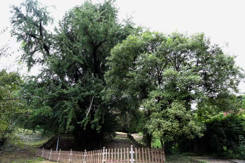 후산마을에 있는 은행나무 고목. 왕위에 오르기 전 인조가 이 마을에 사는 오희도를 만나러 왔다가 말고삐를 맨 나무로 알려져 있다. 전라남도 기념물 제45호로 지정돼 있다.