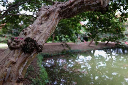 명옥헌원림의 고목이 된 배롱나무. 누정 앞 연못에 비스듬히 기댄 채 꽃을 피우고 있다. 세월의 더께가 묻어나는 배롱나무다.