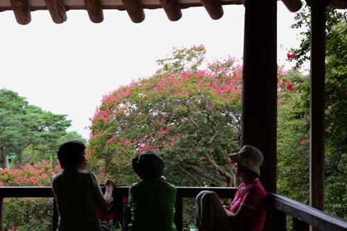 명옥헌과 배롱나무 꽃. 누정에 올라앉은 여행객들이 진분홍색의 배롱나무 꽃을 배경으로 이야기를 나누고 있다.