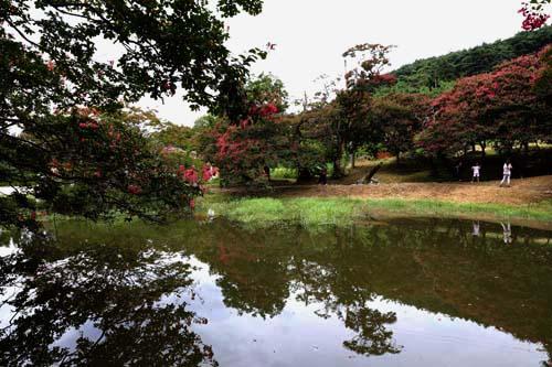 명옥헌원림의 연못에 반영된 배롱나무. 그 꽃길을 따라 여행객들이 원림의 아름다움을 느끼고 있다.