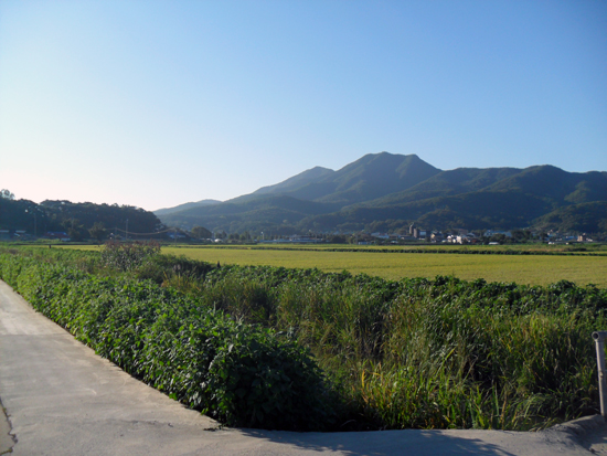 요즘 들길은 황금벌판으로 물 들어가고 있다. 바라 보이는 산이 마니산이다.