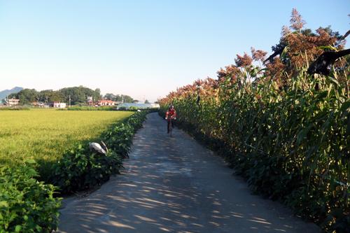 키다리 수수밭은 자전거 타는 사람에게 일렬로 늘어서서 열병식을 하여준다.
