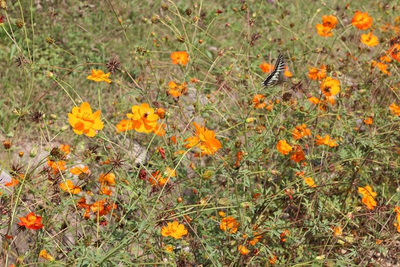 노랑나비 호랑나비 코스모스 꽃 위에서 나풀댄다.