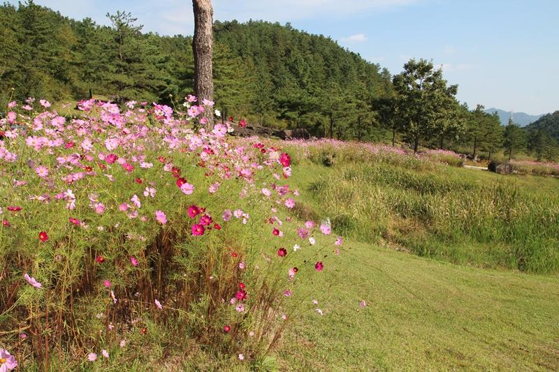 코스모스는 국화와 더불어 가을을 대표하는 꽃이다.