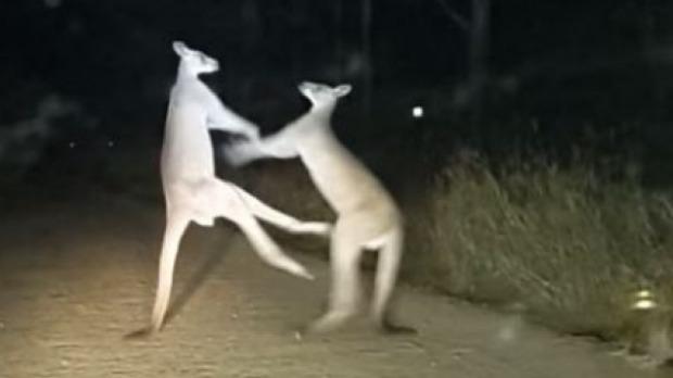 호주에서 포착된 캥거루의 킥복싱 모습
