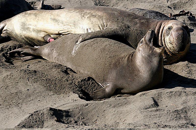 북방코끼리물범 - 현재, 처참한 유전적 다양성으로 숫자만 늘어난 북방코끼리물범. 다양성이 한 번 파괴되면 절대 회복될 수 없다.