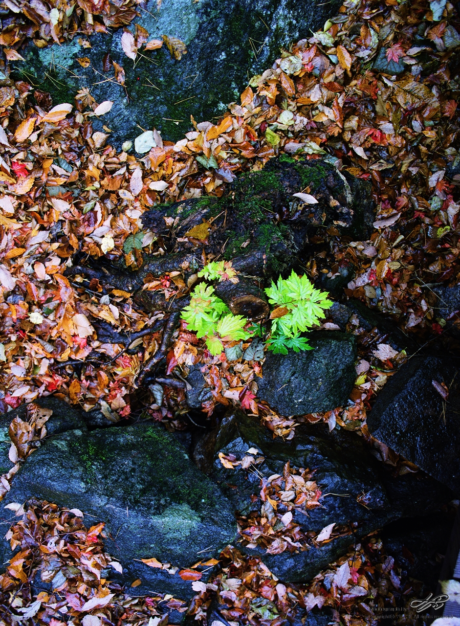 낙엽 속 푸름 <필름>낙엽 사이에 싱그러움을 뽐내는 식물 하나가 마치 우리 아이들을 닮았다.