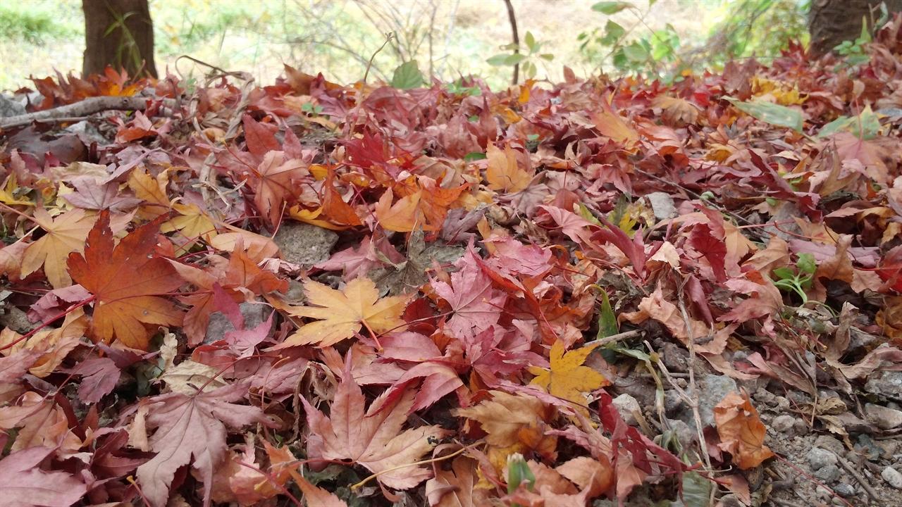 단풍낙엽 내장산 입구 길가에 떨어진 단풍낙엽