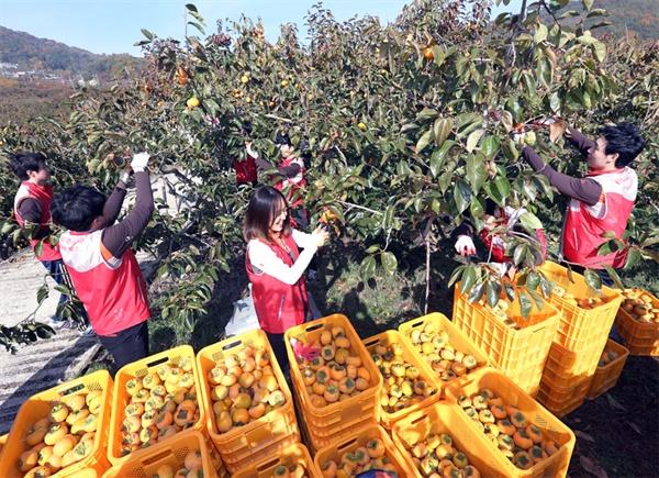 경남은행 신입행원들이 11일 단감 수확 봉사활동을 벌였다.