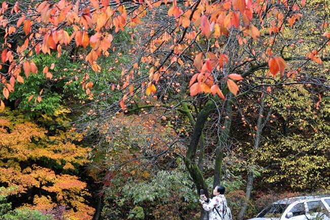 나무에 달린 감과 잎들이 김영랑 시인의 <오매, 단풍 들것네>를 떠올리게 했습니다.