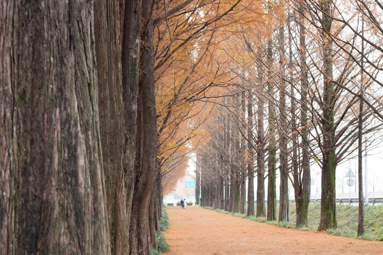 담양 메타세쿼이아길 낙엽이 수북히 쌓인 담양 메타세쿼이아길