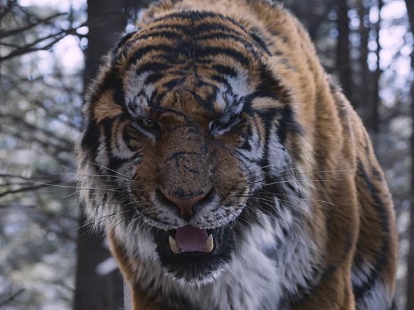 영화 <대호> 속 호랑이의 모습. 한반도 전역에 분포했던 호랑이는 일제의 소탕 작전 이후 '사실상' 멸종한다.