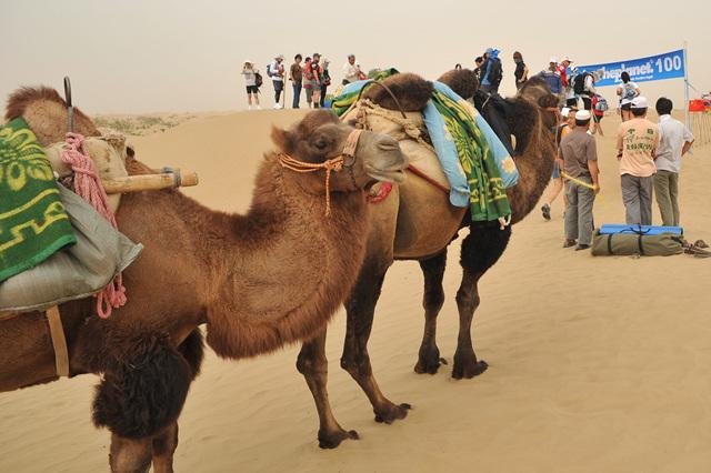 낙타와 함께 춤을 사막의 유일한 사역과 교통수단 낙타