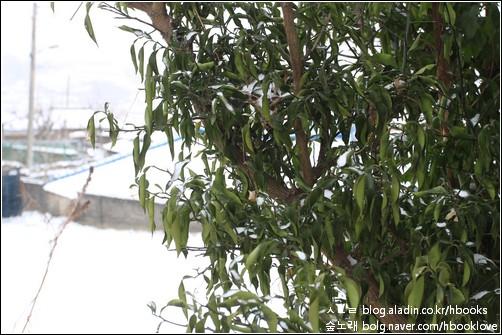 뒤꼍 유자나무가 추위에 벌벌 떤다. 부디 기운을 내서 살아나 주렴.