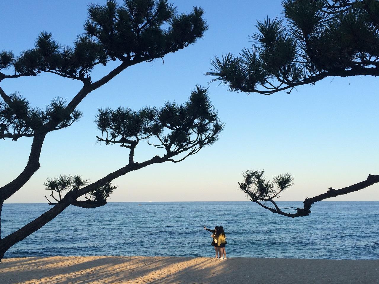 바다를 지키는 소나무 강릉에서는 바다내음과 솔향을 같이 맡을 수 있다.