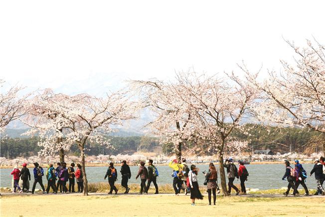 벚꽃핀 경포호길 벚꽃이 만발한 봄날, 사람들이 바우길 5구간에 속하는 경포호수를 걷고 있다
