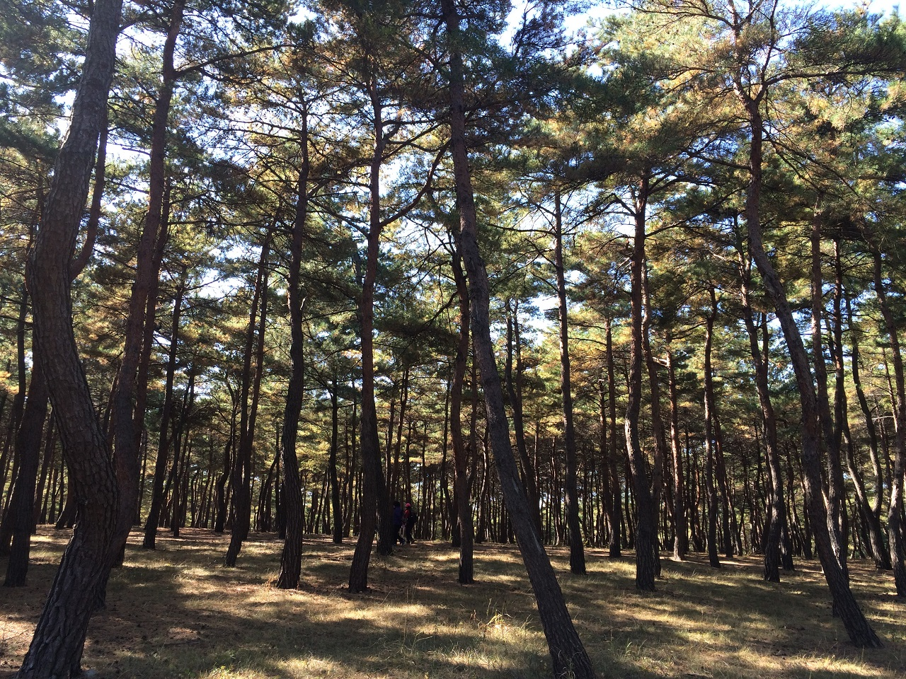 소나무 숲 힐링로드라는 이름답게 바우길을 걸으면 산림욕을 즐길 수 있다