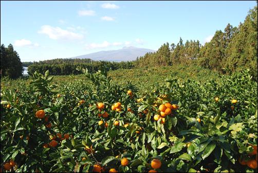 가을에 귤이 익어가는 모습 해마다 가을이 되면 농부들은 풍요로운 결실을 기대한다. 지난 해는 농정당국이 낙관적 전망을 발표하자, 농심은 더욱 부풀어 있었다.