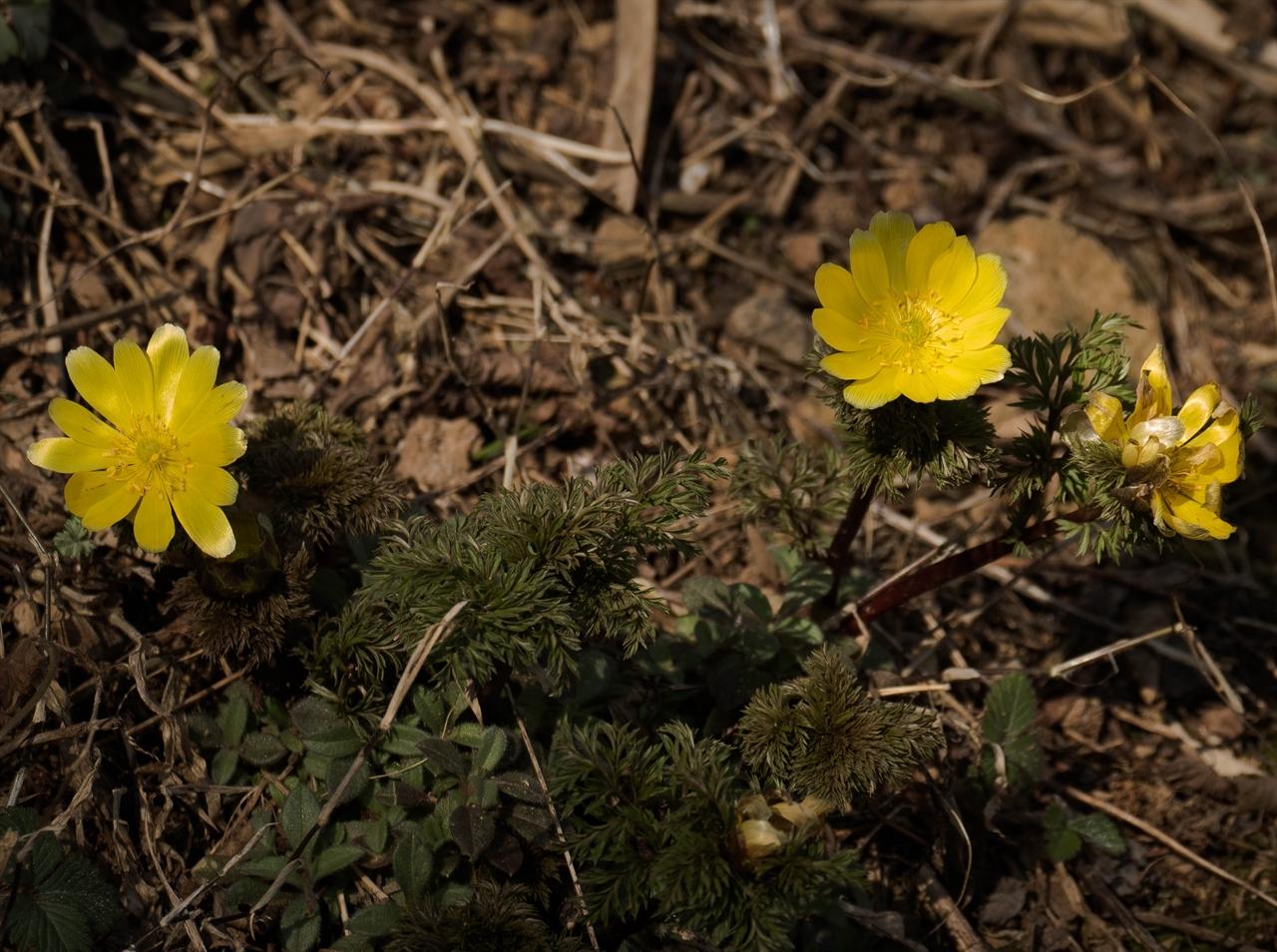 복수초 뒷동산 검불 속에서 찾은 봄.