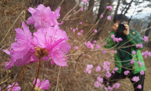 섬진강 둘레길에서 만난 진달래꽃 군락. 연분홍 빛깔의 꽃이 봄의 한가운데로 이끈다.