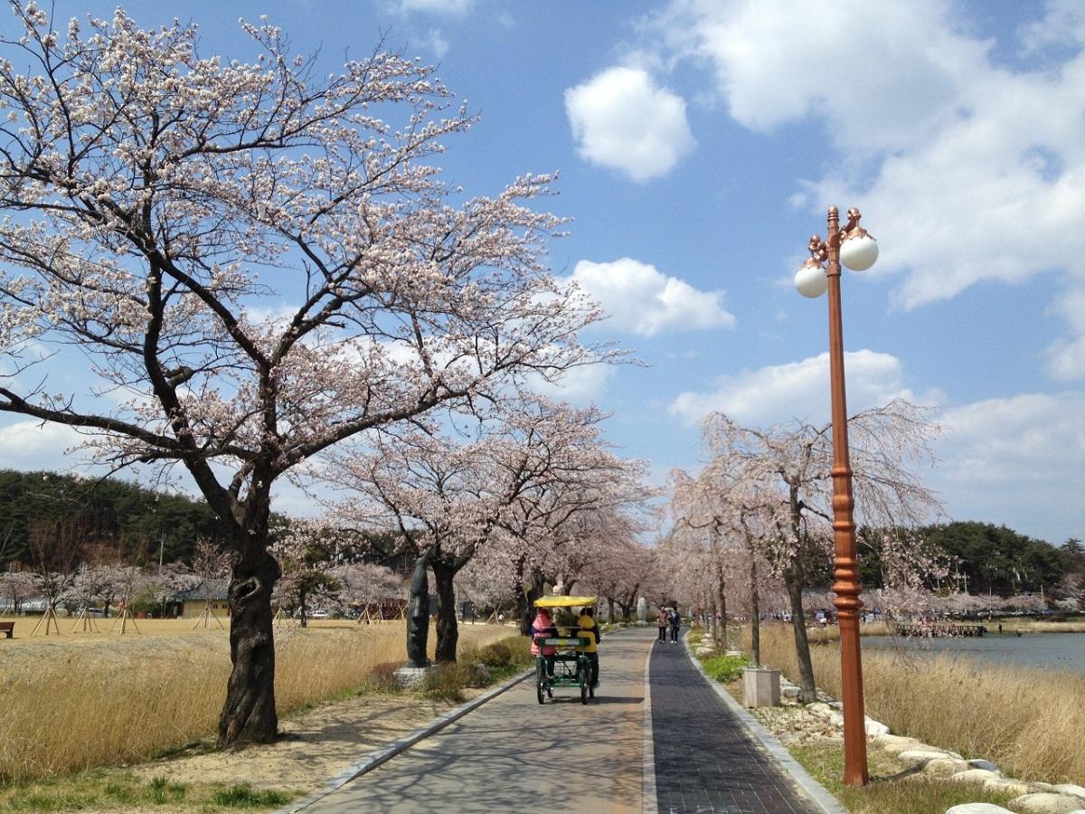 경포호수의 봄 경포호수 주변은 봄이면 벚꽃의 향연 펼쳐진다.