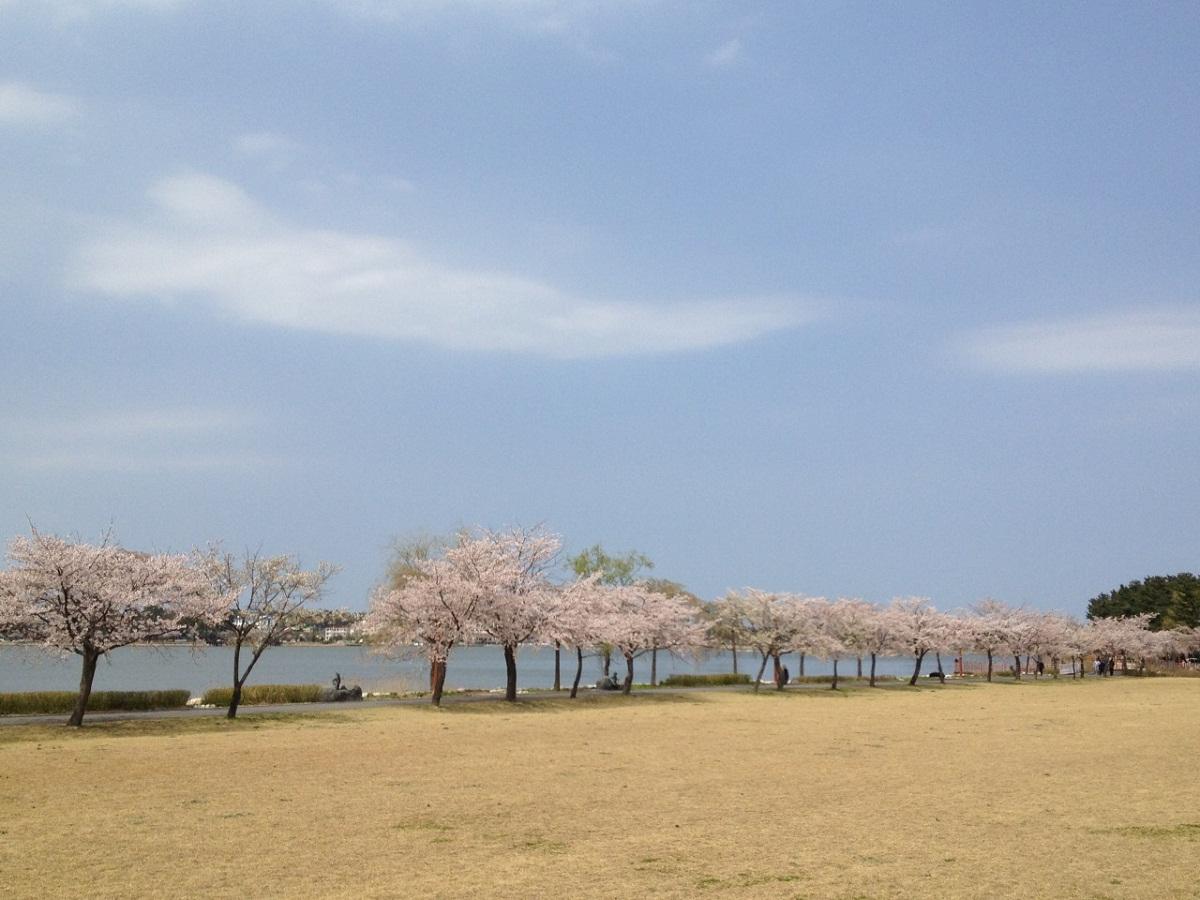 경포호수의 봄 봄여행의 백미, 벚꽃