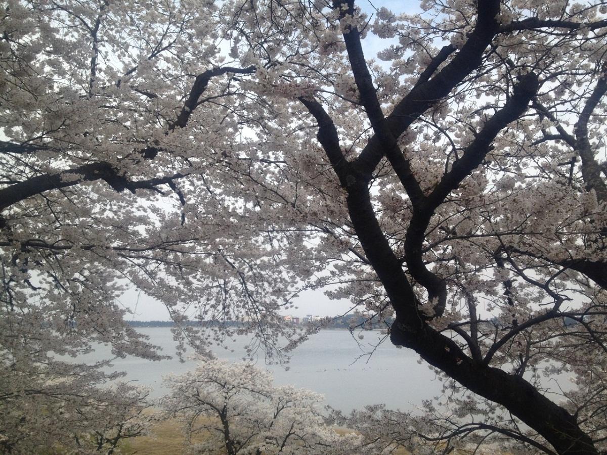 벚꽃도 여러가지 경포에는 보통의 벚꽃부터 수양벚꽃, 겹벚꽃 등 다양한 벚꽃이 핀다.