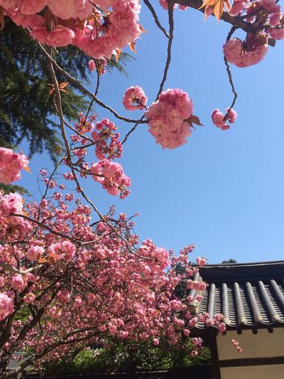 봄의 마지막 선물 지는 벚꽃을 아쉬워 할 즈음 봄이 마지막 선물을 한다. 꽃잎이 겹겹이 포개진 겹벚꽃을 피워내는 것으로 말이다.