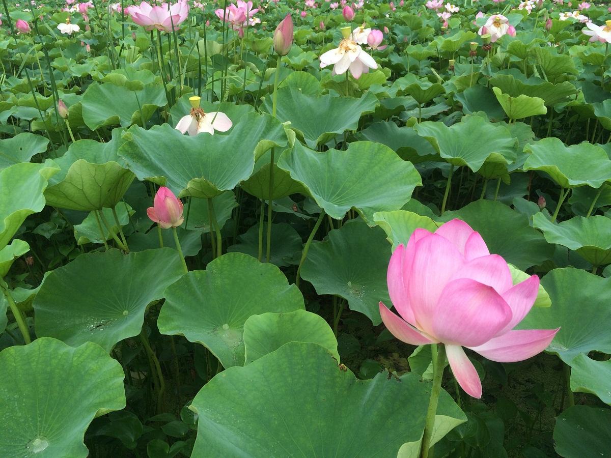연꽃  여름이면 경포습지에 핀 연꽃을 즐길 수 있다.