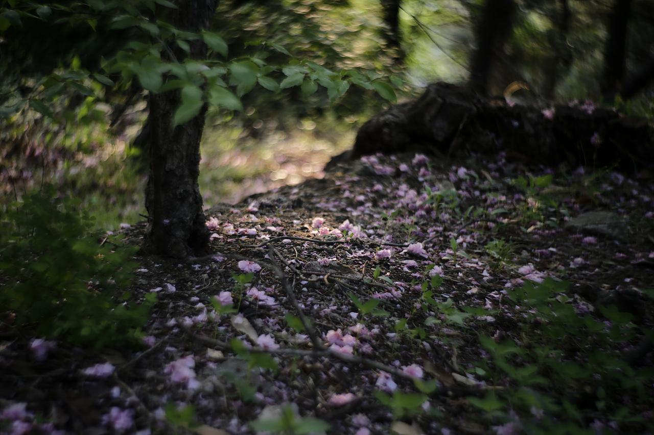 낙화 분홍빛 겹벚꽃의 낙화, 낙화의 아름다움을 볼 수 있으니 또한 가는 봄도 기꺼이 보낼 수 있다.