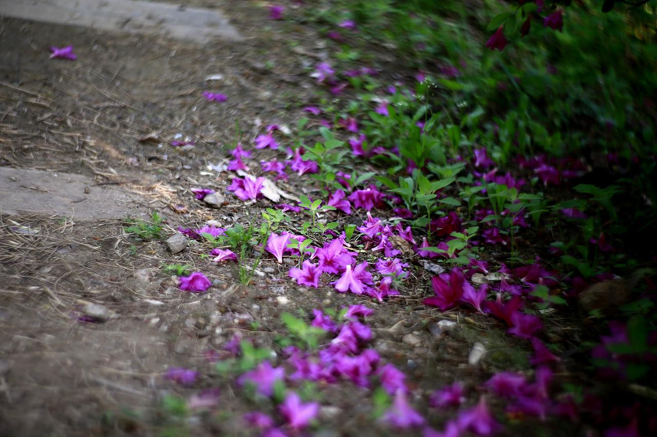 낙화 철쭉도 이제 하나 둘 꽃을 떨군다. 그렇게 피어났다가 떨어지는 것이 자연의 순리다.