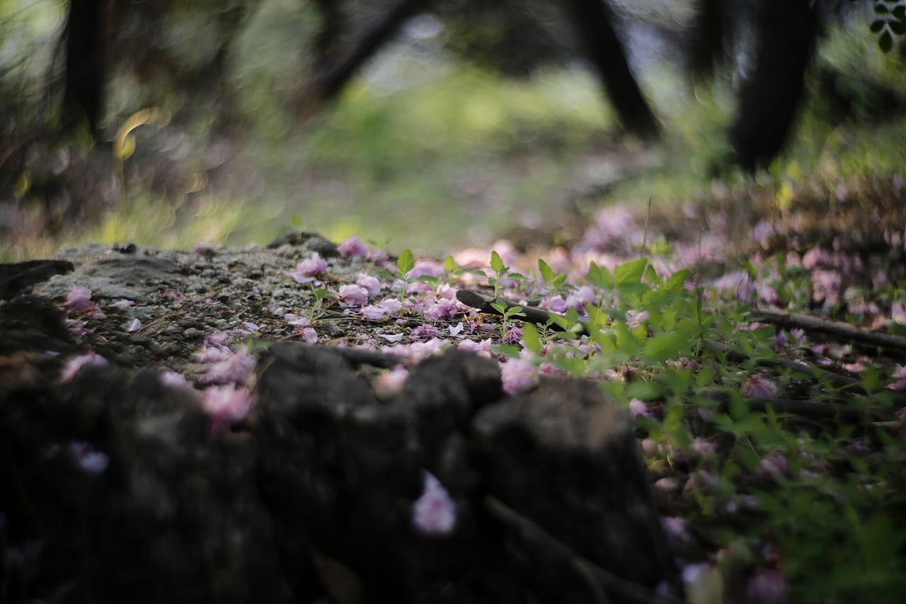 낙화 숲 속에 아침햇살이 찾아와 낙화한 꽃들을 환하게 비춰준다.
