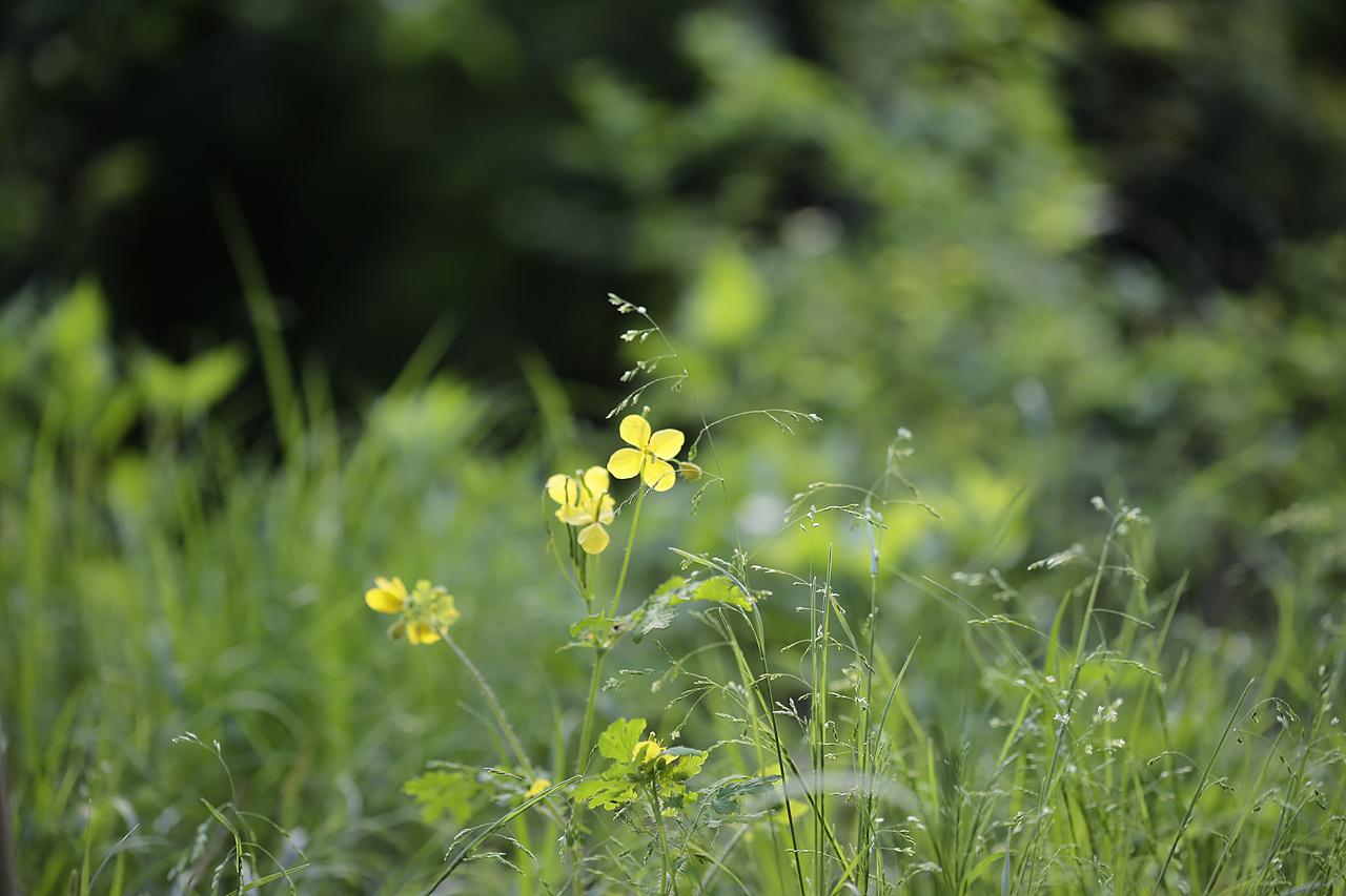 애기똥풀 떨어지는 꽃이 있어 피어나는 꽃도 있는 것이니 가는 꽃에게 또한 감사를 한다.