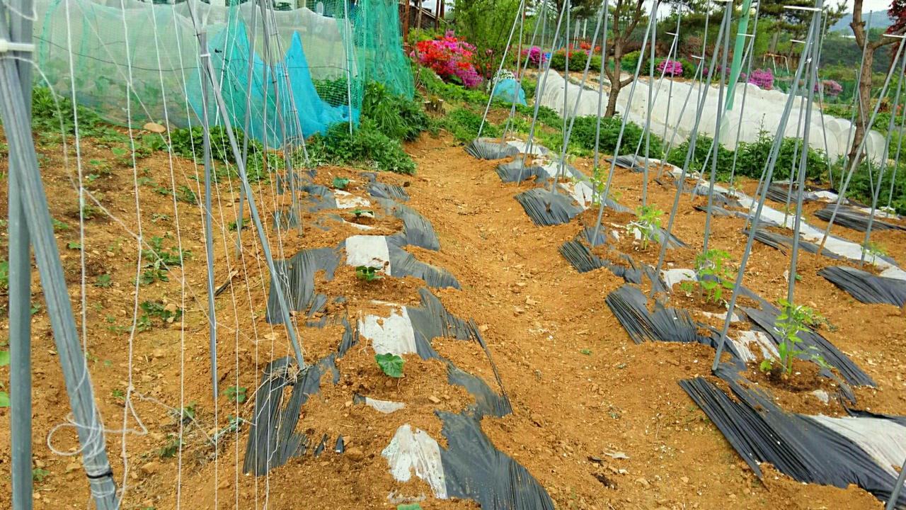 지지대를 세운 토마토 밭