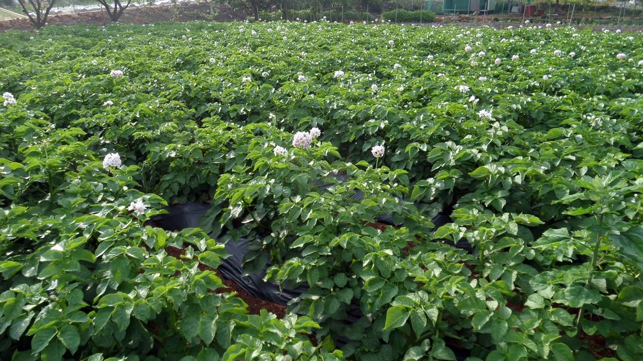 5월 말에 감자꽃이 흐드러지게 핀 우리 감자밭입니다.