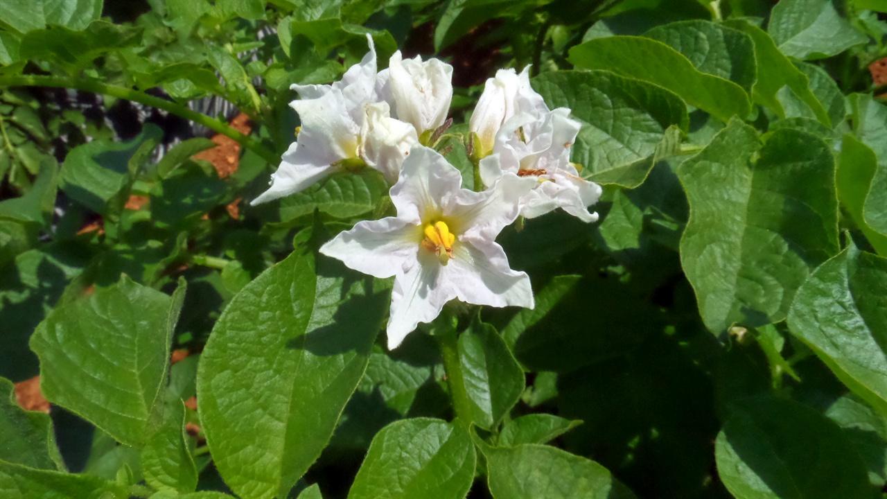 감자꽃. 보통 감자꽃은 흰색입니다.