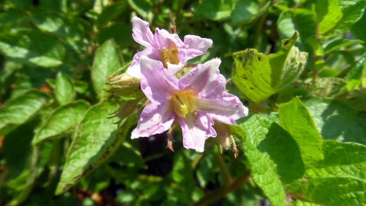 자주색 감자는 자주색 감자꽃이 핍니다.