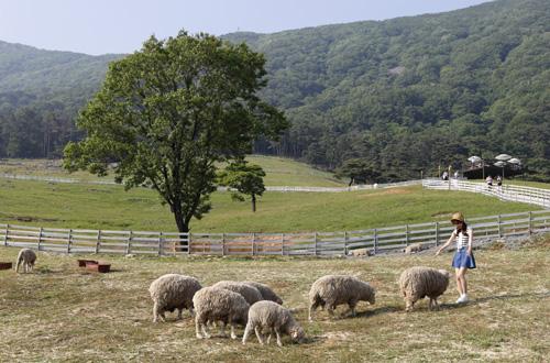 무등산 양떼목장 풍경. 알프스소녀 하이디처럼 양들과 함께 노닐 수 있다. 건초 주기 체험도 가능하다.