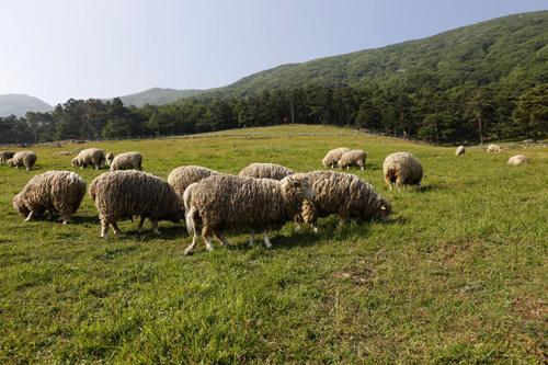 푸른 초원을 노닐며 풀을 뜯고 있는 양떼들. 지난 5월 25일 무등산 양떼목장 풍경이다.