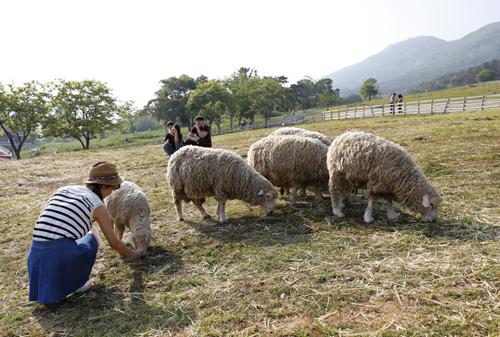 한 여행객이 무등산 양떼목장에서 양들에 먹이를 주고 있다. 그 뒷모습이 알프스소녀 하이디 같다.